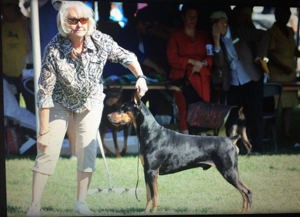 dBella's Second Sip of Wine Masi Doberman show by Carolyn Royolyn Dobermans