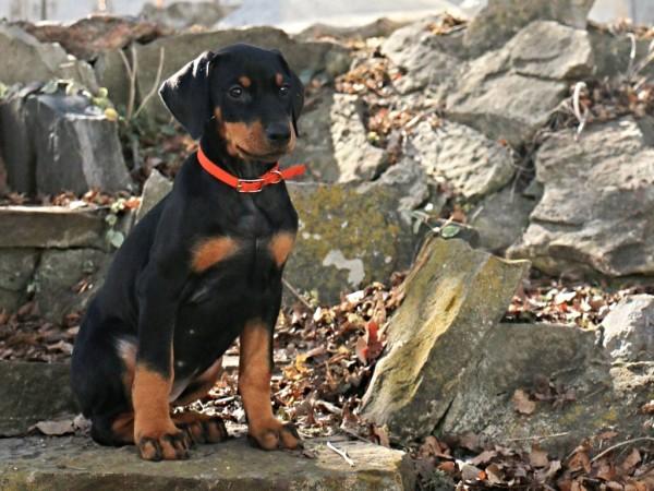 dBella's Second Sip of Wine Masi Doberman puppy