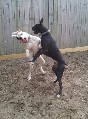 Oscar and Sammy boxing LOL