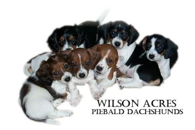 Indiana Miniature Dachshund breeder AKC puppies for sale