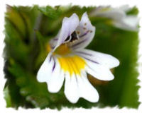 Eyebright Benefits Aka Euphrasia