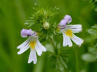 Health Benefits of Eyebright