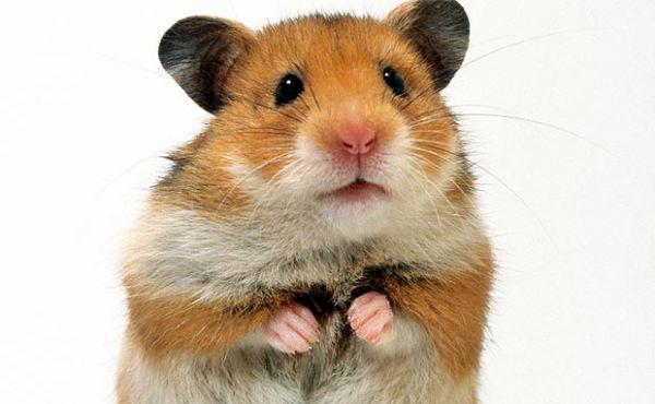 Hamster & Gerbil