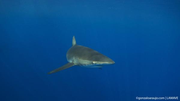 Silky Shark (Carcharhinus falciformis) in the Sulu Sea, Phlippines