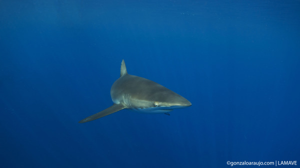 Silky Shark (Carcharhinus falciformis) in the Sulu Sea, Phlippines