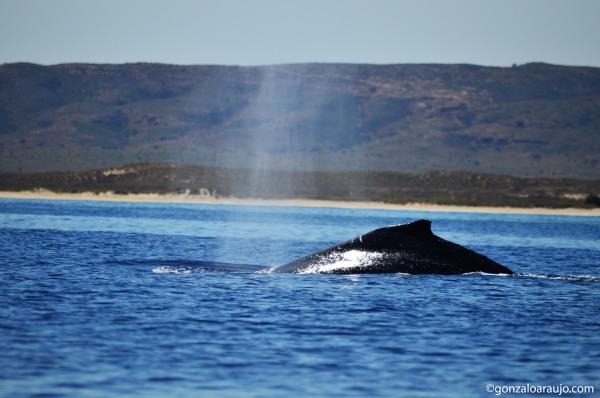 Humpback whale at Ningaloo Reef, WA