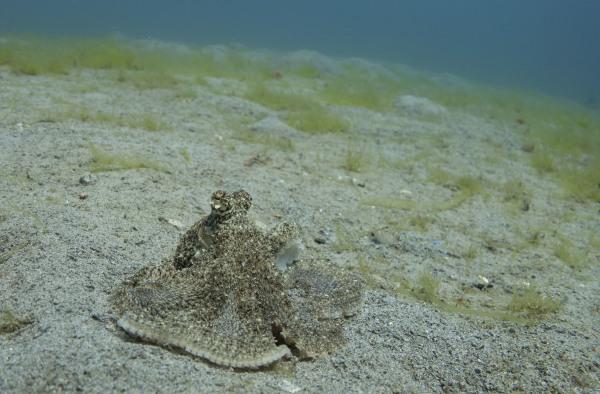 White V Octopus in Sogod Bay, Southern Leyte