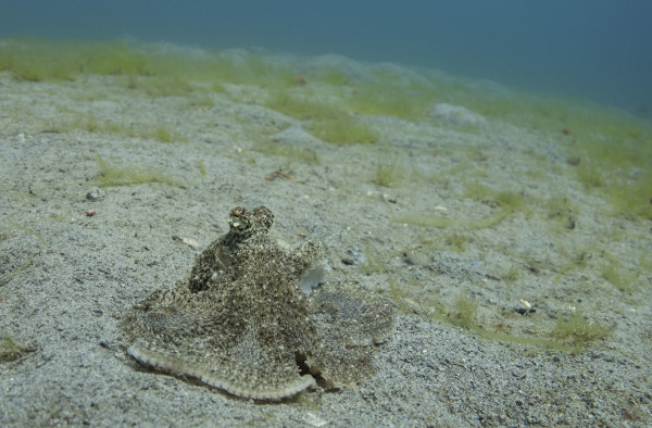 White V Octopus in Sogod Bay, Southern Leyte