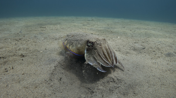 Cuttlefish emerges from the sand in Southern Leyte