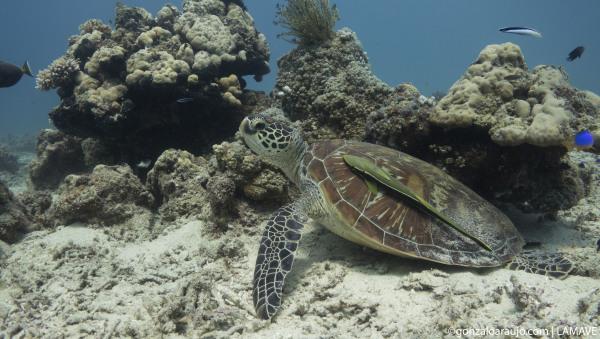 Green turtle resting in Cebu