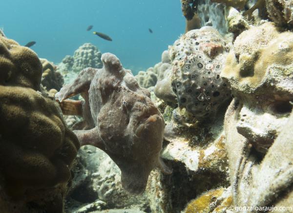 Frogfish x2 at Sogod Bay, Southern Leyte