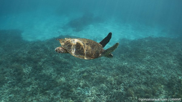 Juvenile hawksbill turtle at Tubbataha Reefs Natural Park