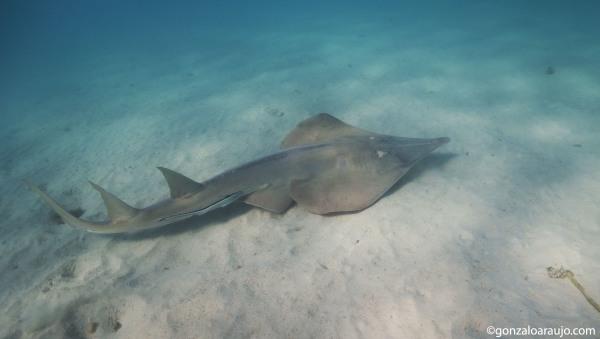 Shovelnose ray at Ningaloo Marine Park, WA