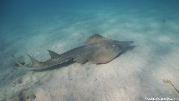 Shovelnose ray at Ningaloo Marine Park, WA