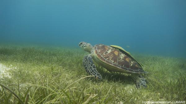 Juvenile green turtle (Chelonia mydas)