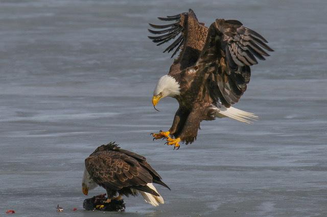Eagles on Ice by Mark Dolfi