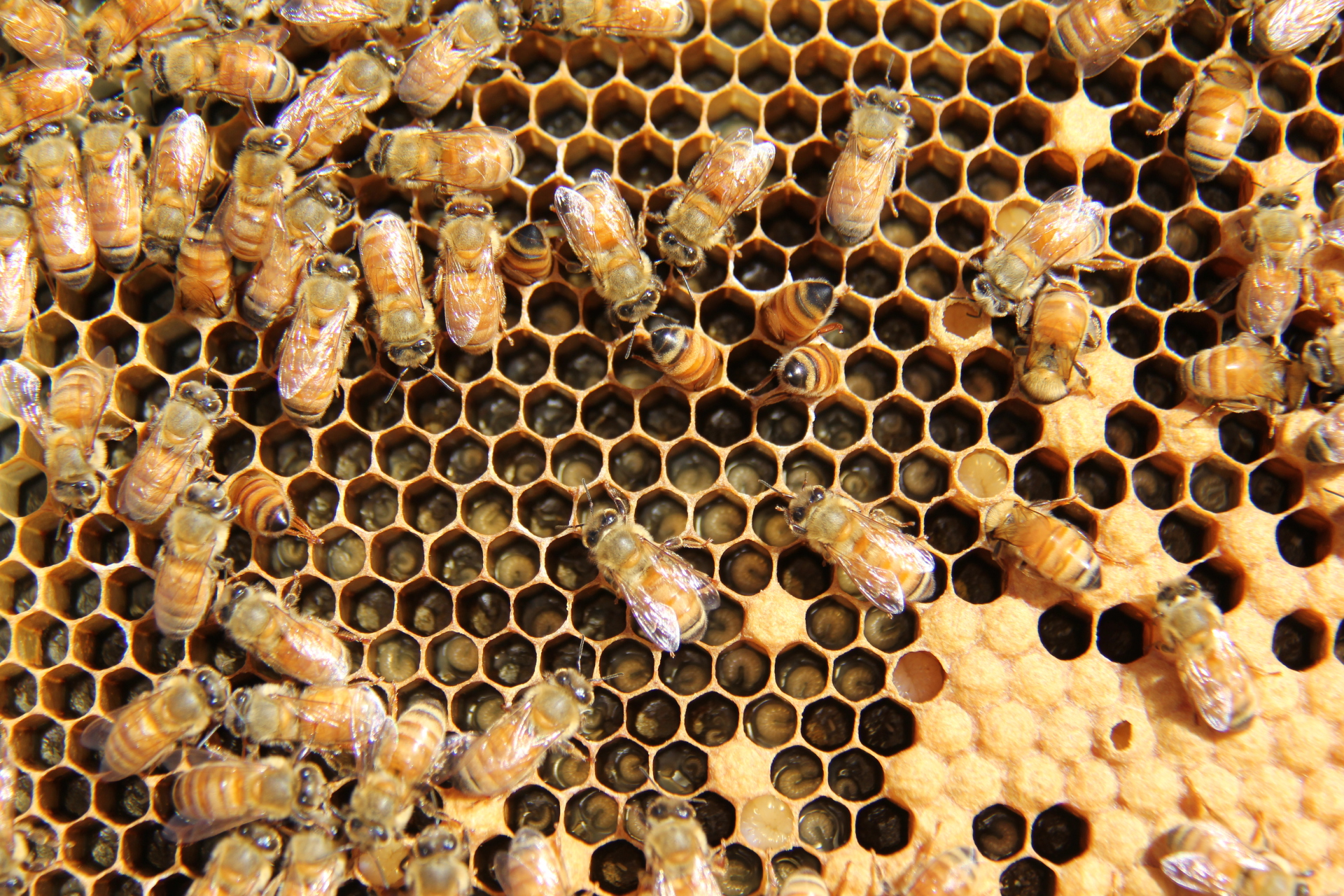 Different stages of brood in the bee hive