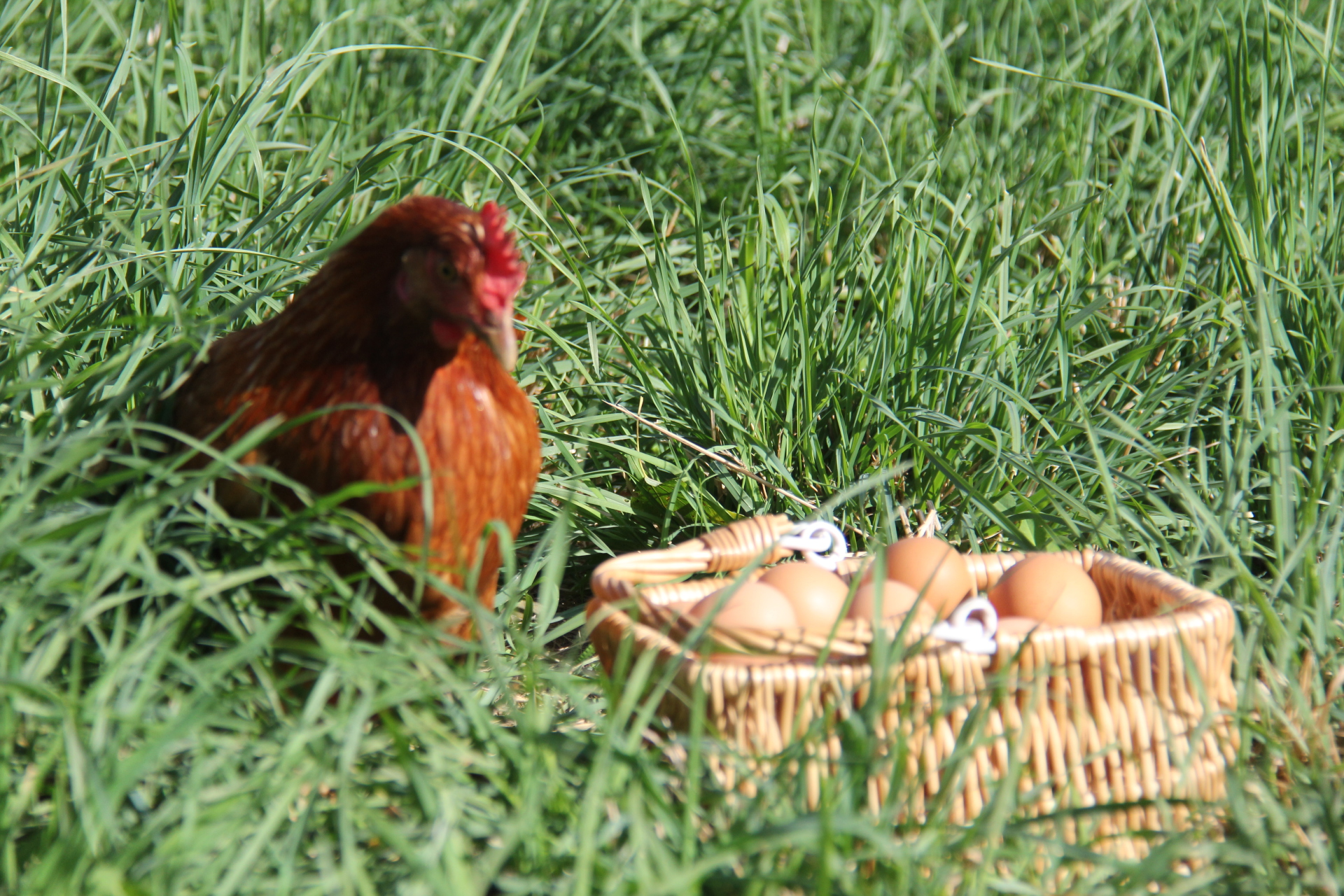 God's Glory Farm, Purcellville, VA, pasture raised non-GMO eggs