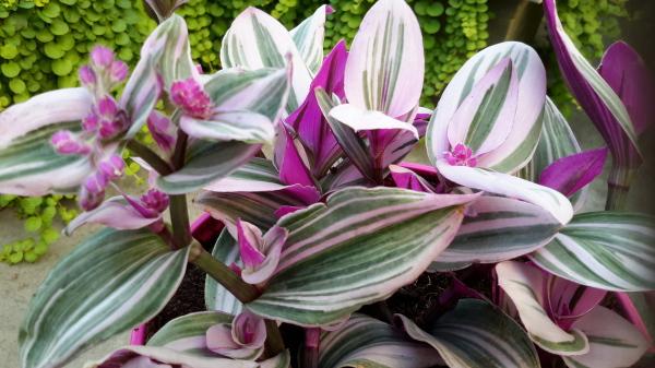 Tradescantia zebrina 'Lilac'