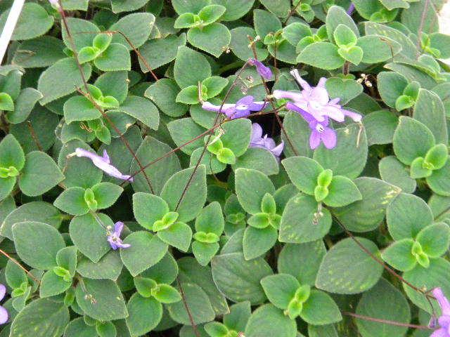 Streptocarpella 'Concord Blue'