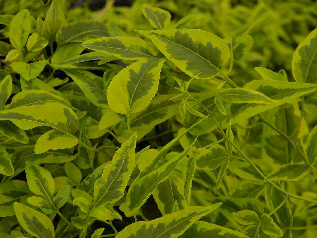 Solanum jasminoides Variegata