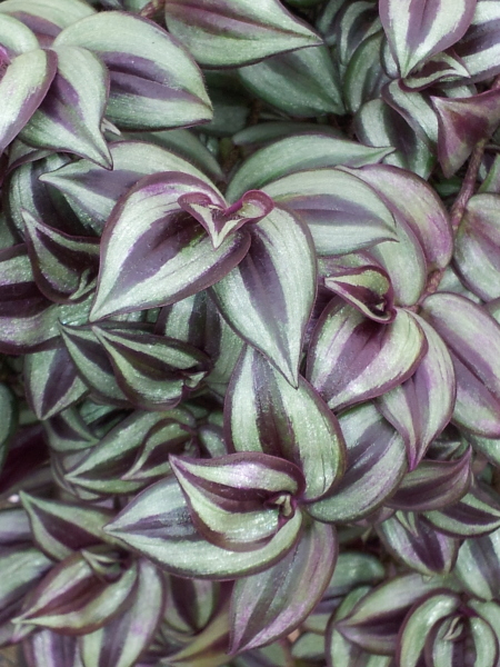 Tradescantia zebrina 'Purple & Silver'