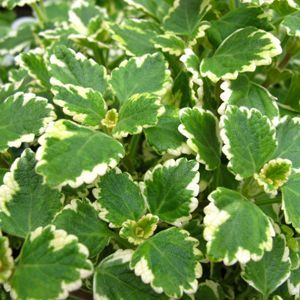 Plectranthus Swedish Ivy Variegated.