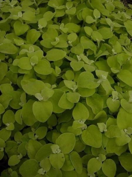 Helichrysum petiolare 'Lemon'