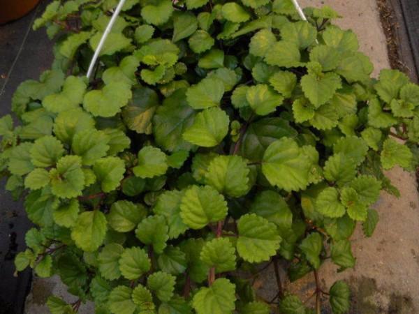 Plectranthus Swedish Ivy Green