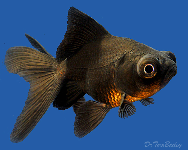 Black Comet Goldfish