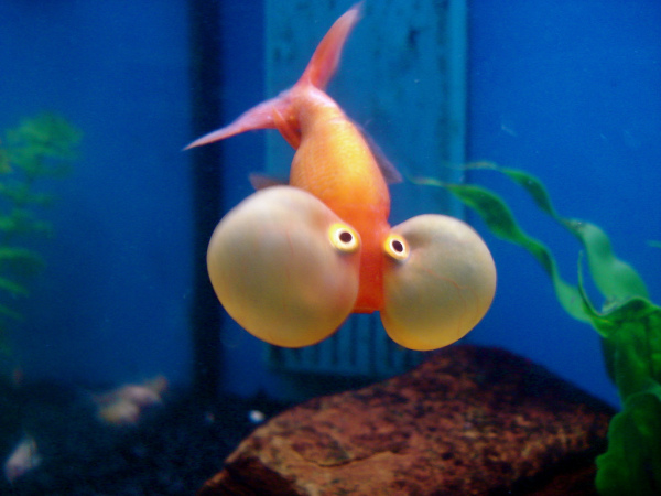 Bubbleye Goldfish