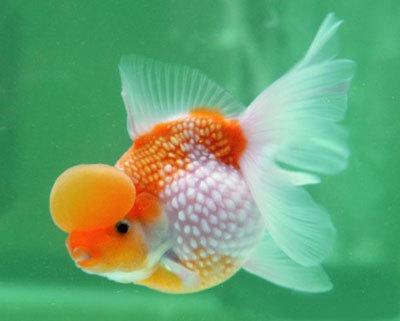 Lionhead Pearlscale Goldfish