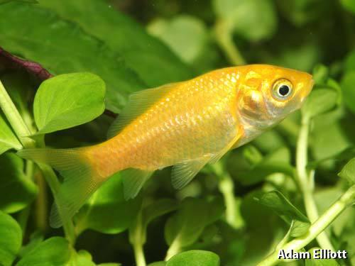 Lemon Goldfish