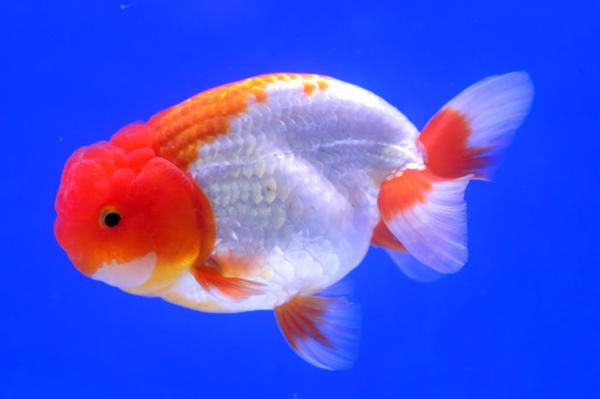 Lionhead Ranchu Goldfish