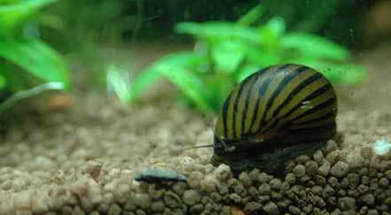 Algae Eating Snail