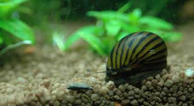 Algae Earting Snail