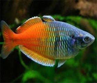 Bosemani Rainbow