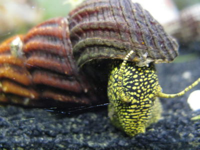 Yellow Spot Snail
