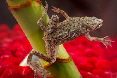 African Dwarf Underwater Frog