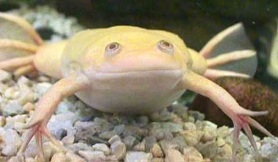 African Long Claw Albino Frog