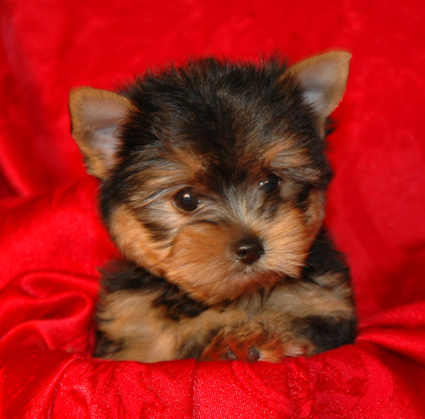 Cute Yorkie puppy picture