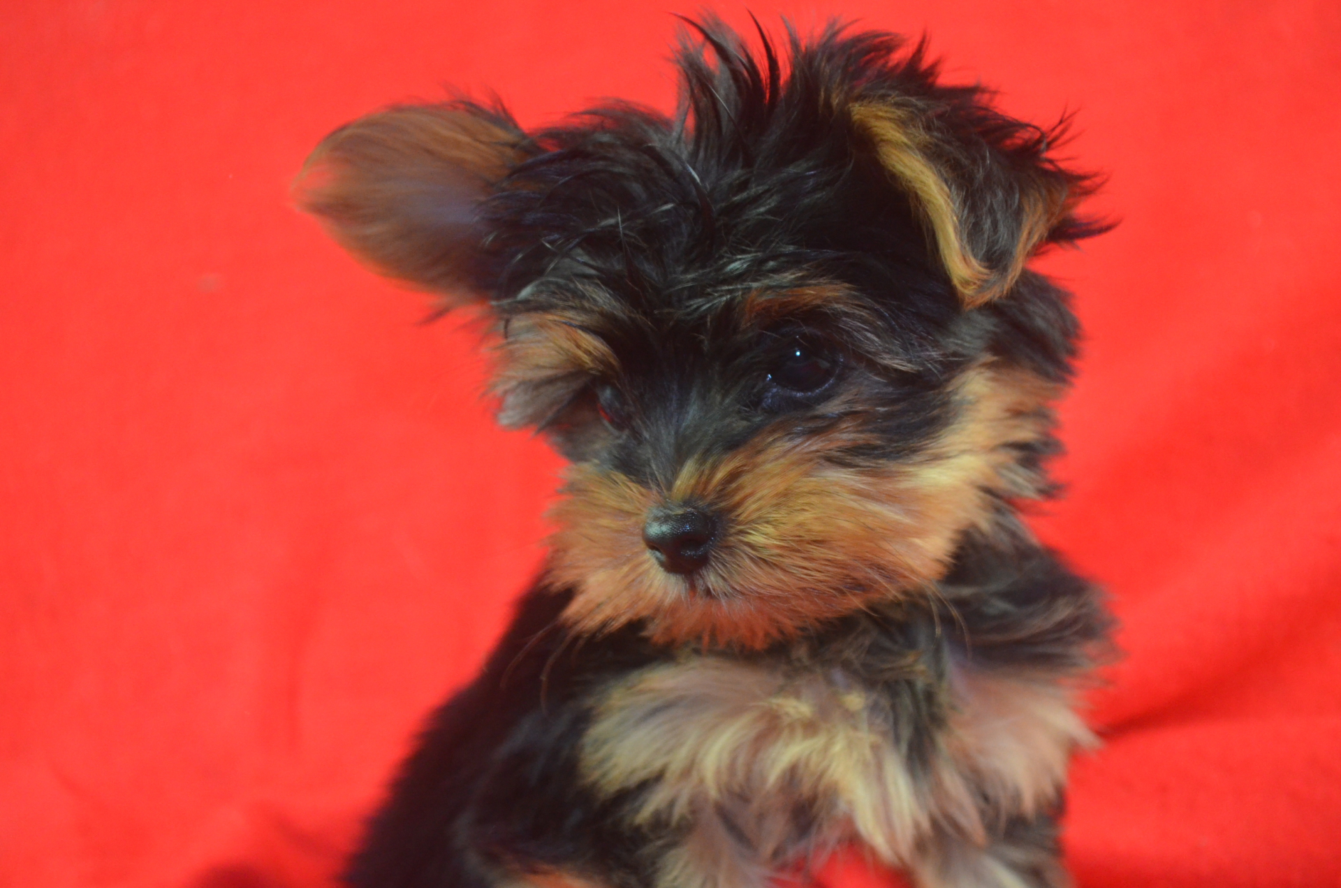 Sold Standard sized Yorkie puppy