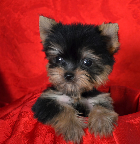Cute Yorkie picture