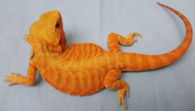 Translucent Dragons