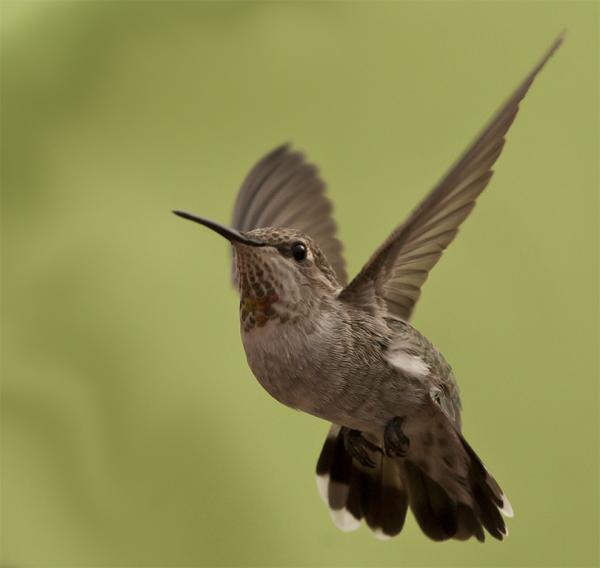 Broard-tailed Hummingbird