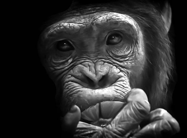 Chimpanzee day-dreams