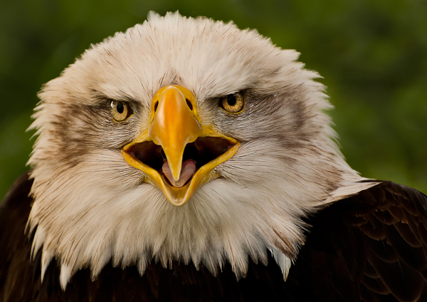 Bald Eagle attitude