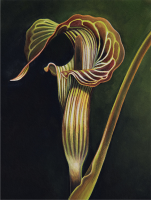 """""""Jack in the Pulpit No.1"""""""