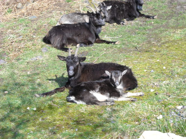 Local wild goats