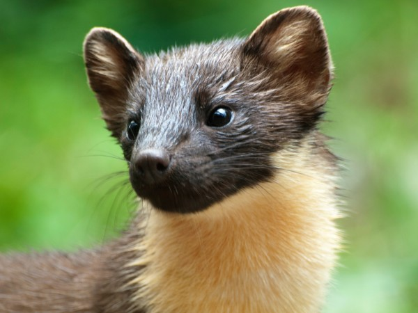 One of our visiting pine martens.